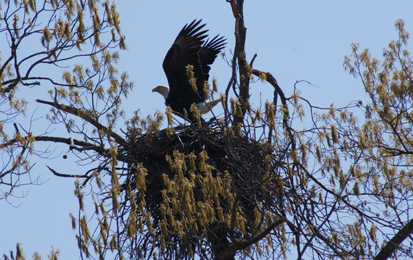 Bald eagle flying from nest