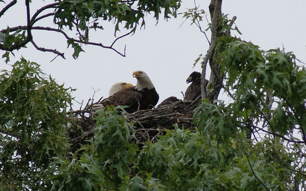 Bald eagles sitting in nest