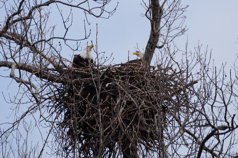 Bald eagles in nest in a tree
