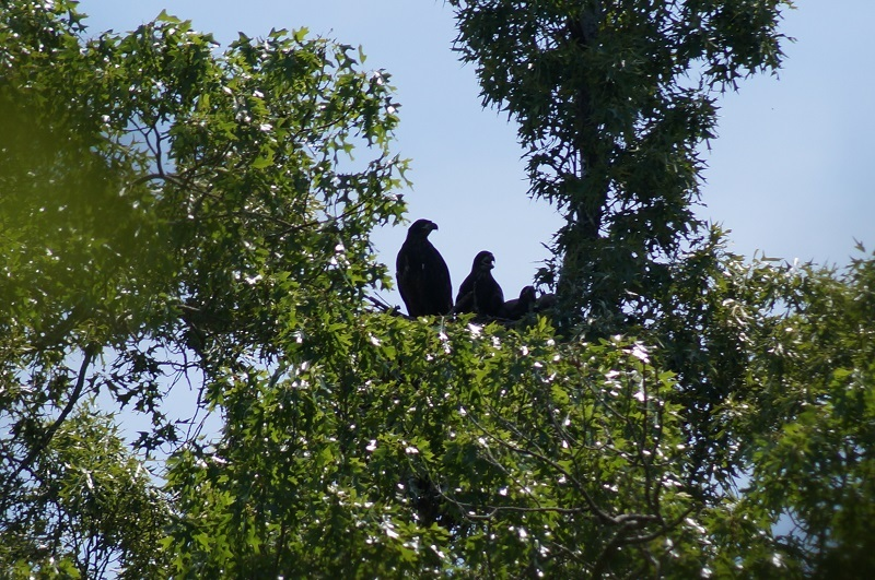 Baby bald eagles in nest in a tree