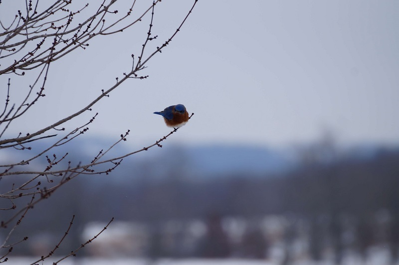 Fluffy bluebird sitting on a branch
