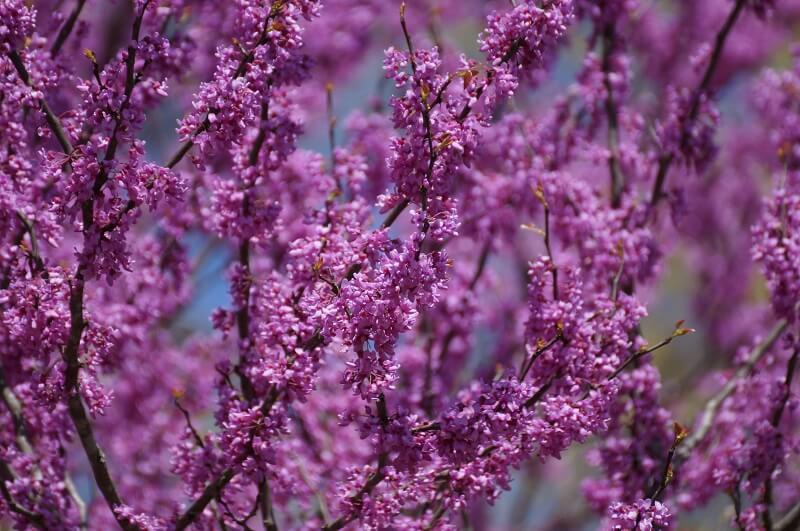 Close-up of redbud tree with bright pink spring blossoms