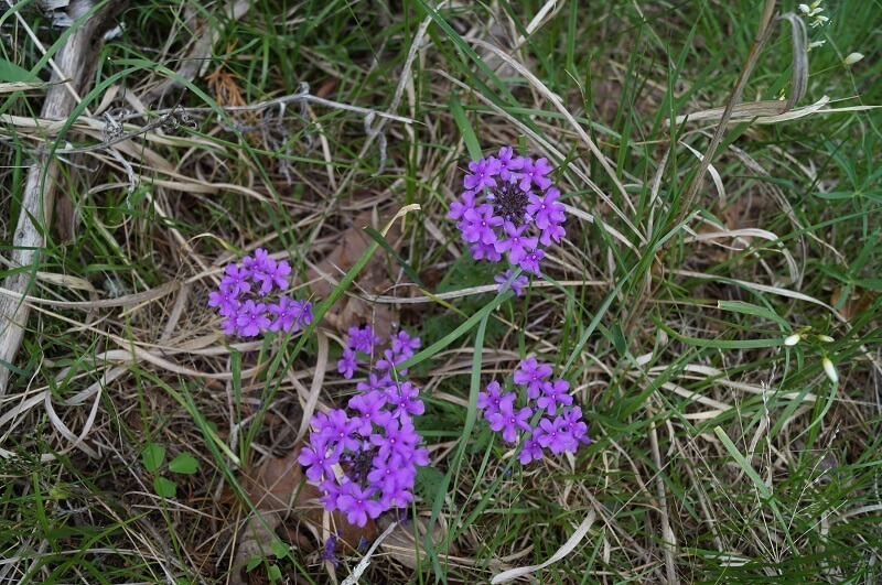Five bunches of violet gilliflower blooms in the grass
