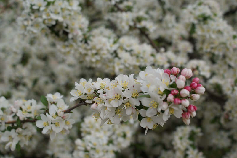 Close-up of Cherry Tree blossoms on an extended branch