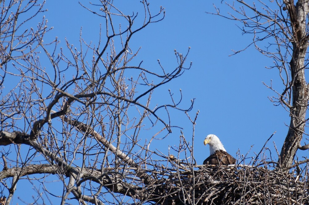 Bald Eagle sitting in its nest in a tree